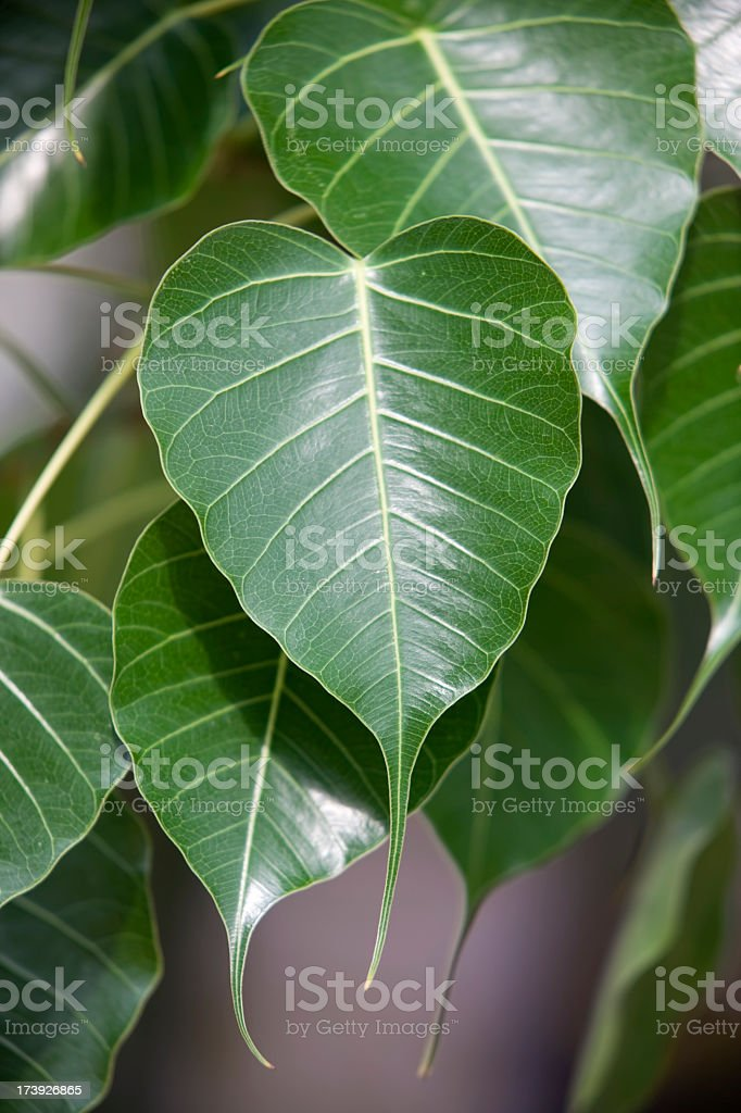 Bo Tree leaves. stock photo