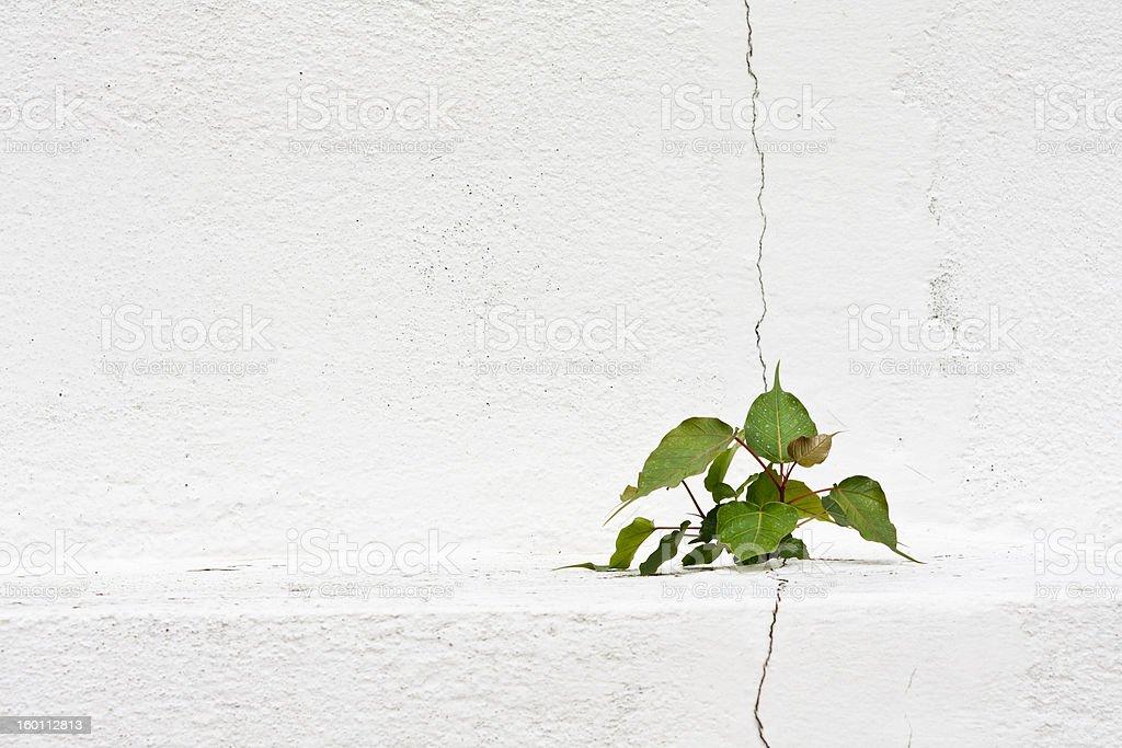 Bo tree on crack of pagoda stock photo