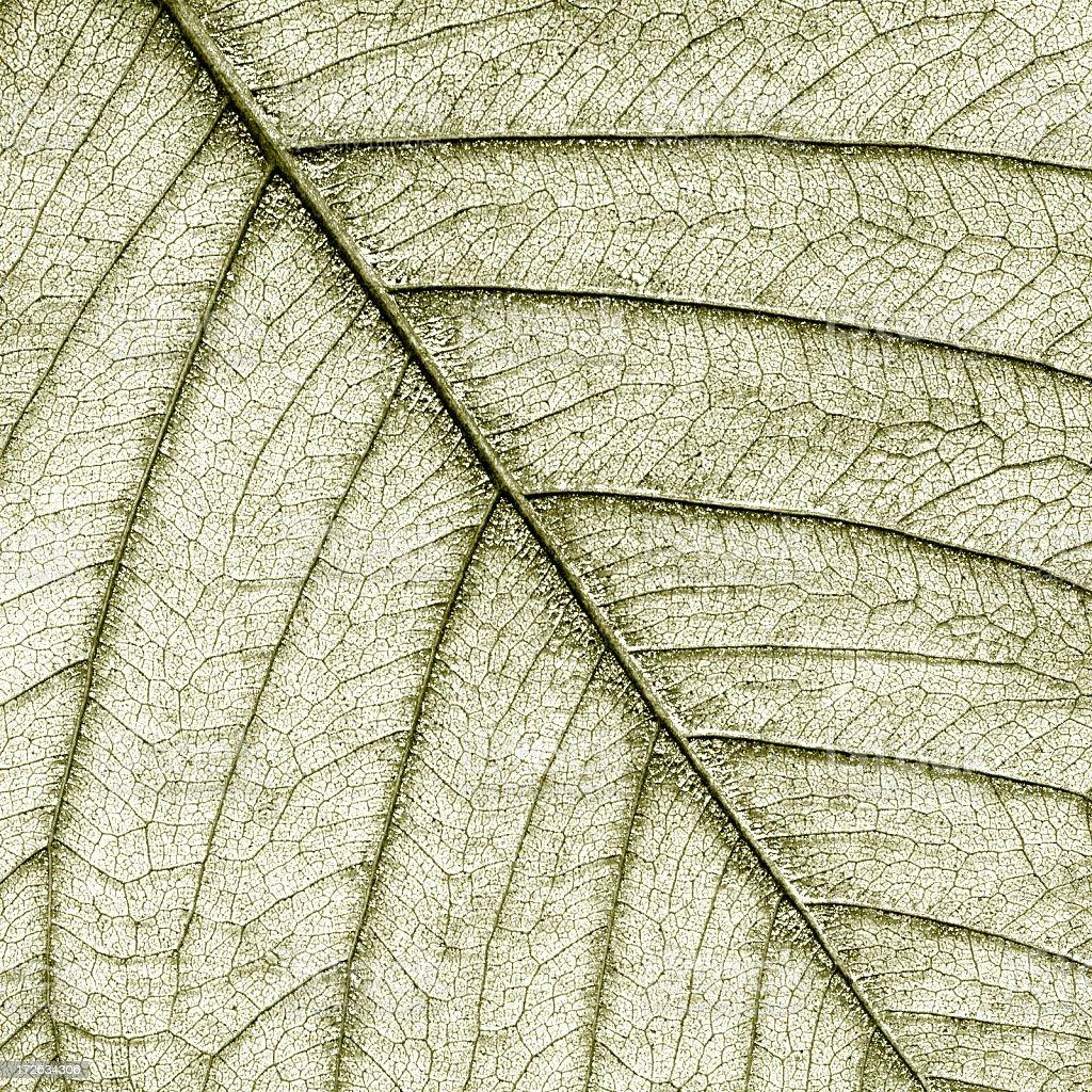 Bo Tree Skeleton Leaf royalty-free stock photo