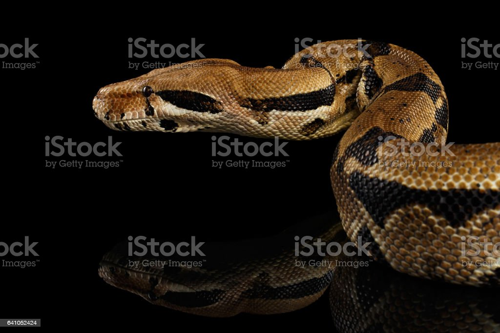 Boa constrictor imperator color, on isolated black background stock photo