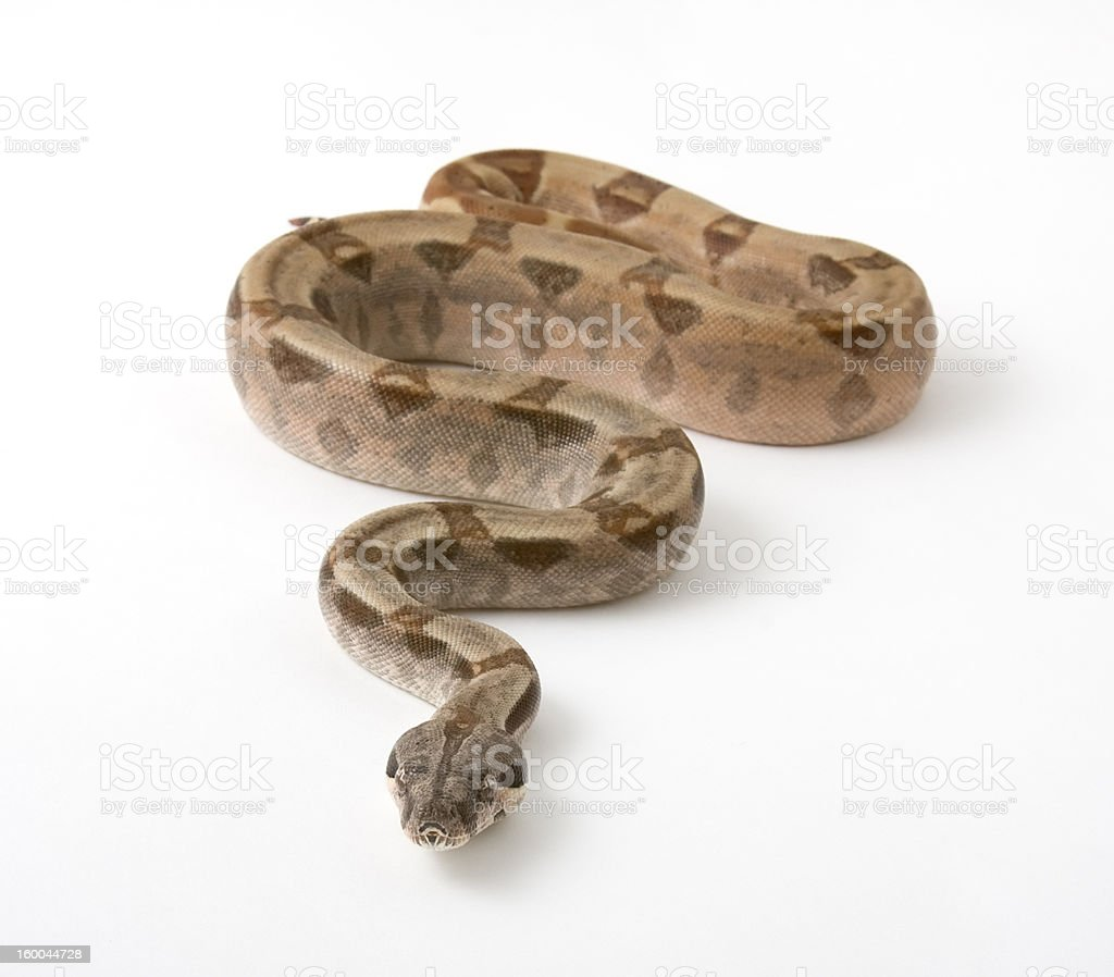 Boa constrictor royalty-free stock photo
