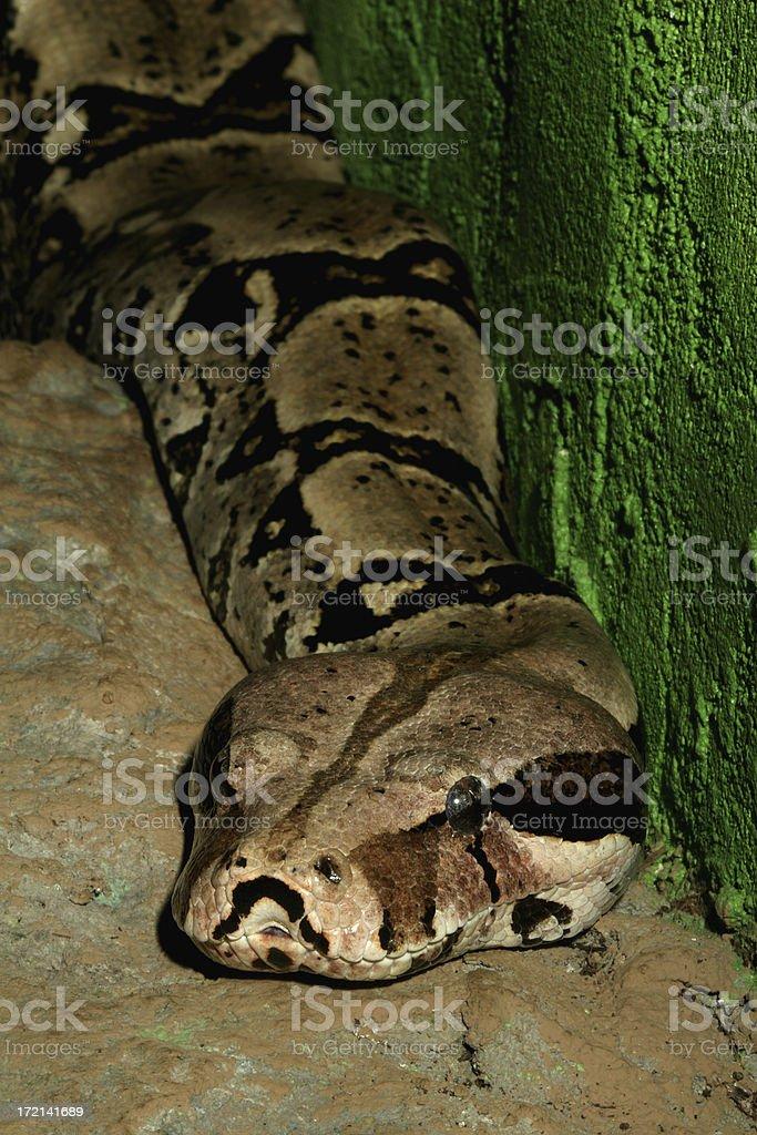 Boa Constrictor royalty-free stock photo