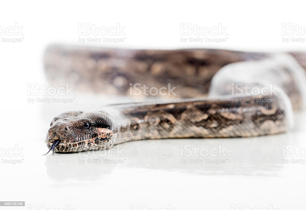 Boa constrictor stock photo
