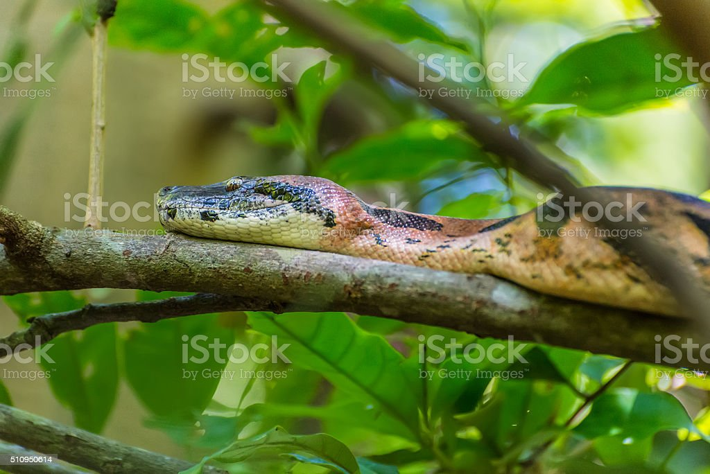 Boa on a branch of a tree - wild rainforest stock photo