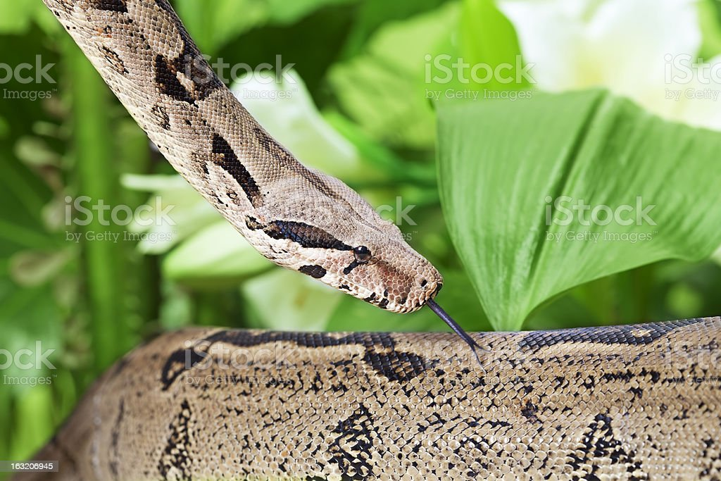 Boa snake closeup royalty-free stock photo