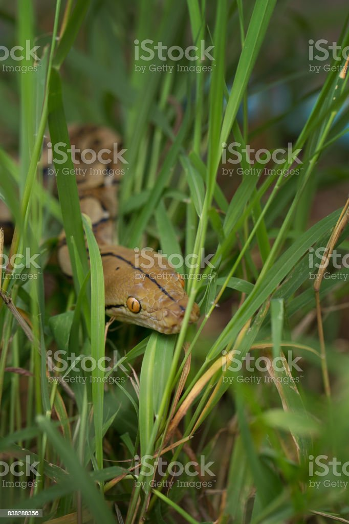 Boa Snake in the grass, Boa constrictor snake on tree branch stock photo