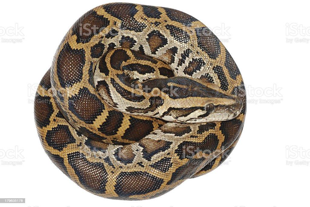 boa snake isolated royalty-free stock photo