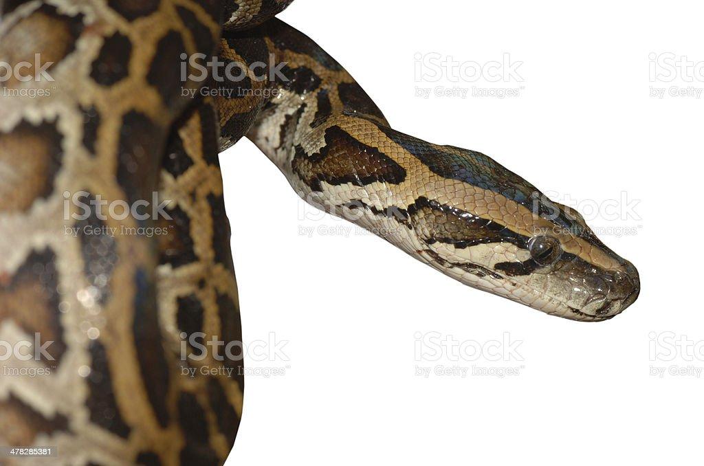 boa snake pattern royalty-free stock photo