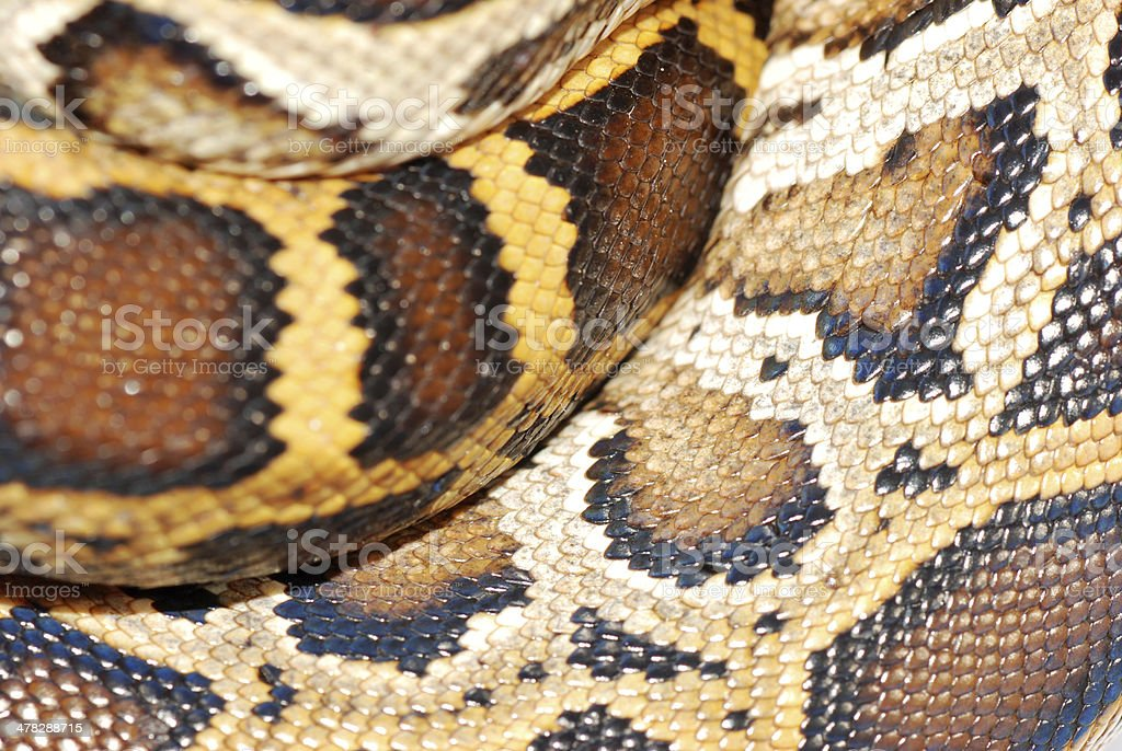 boa snake pattern royalty-free stock photo