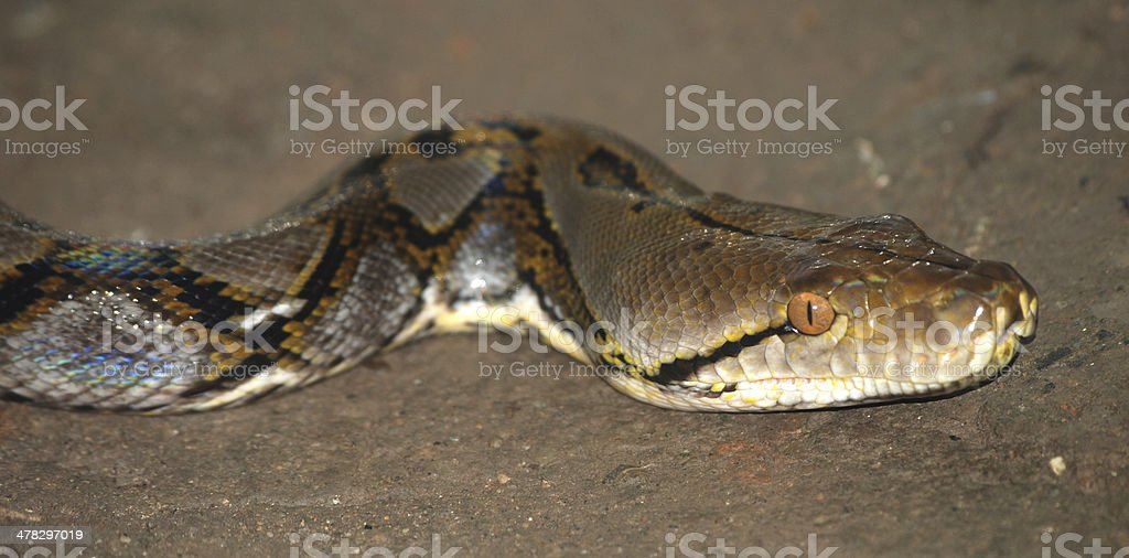 boa snake royalty-free stock photo