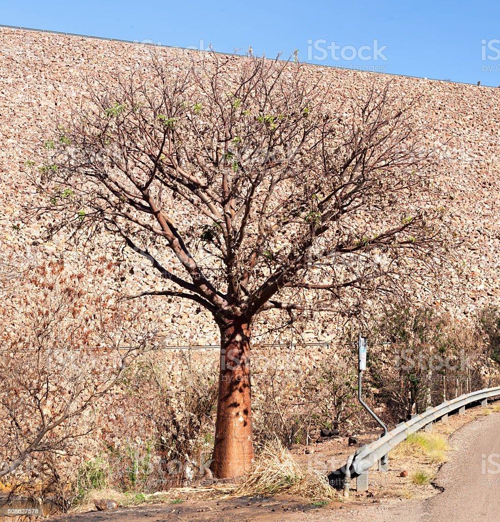 boab tree at lake argyle dam stock photo