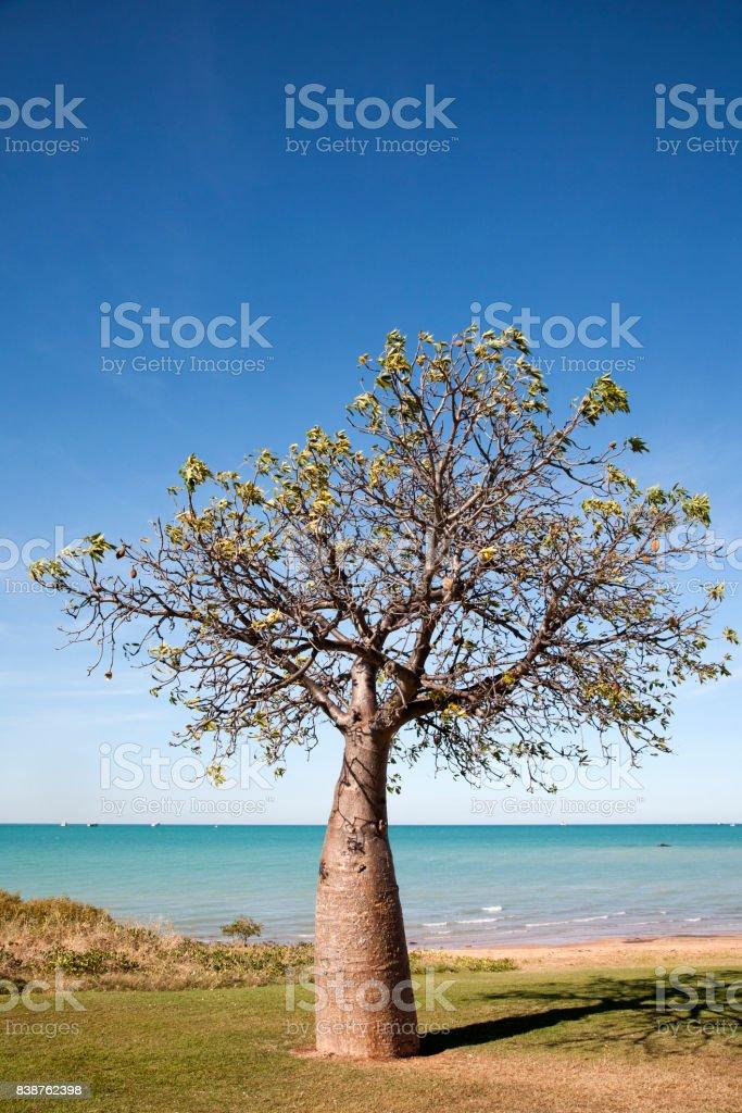 Boab Tree Broome Western Australia stock photo