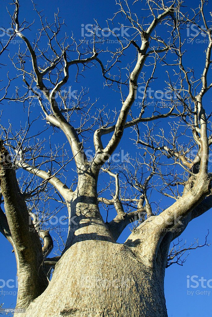 Boab Tree in The Kimberley, Western Australia royalty-free stock photo