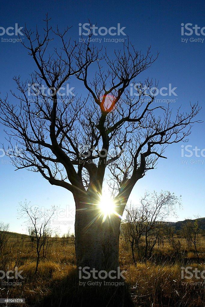 Boab Tree in The Kimberley, Western Australia royalty-free stock photo