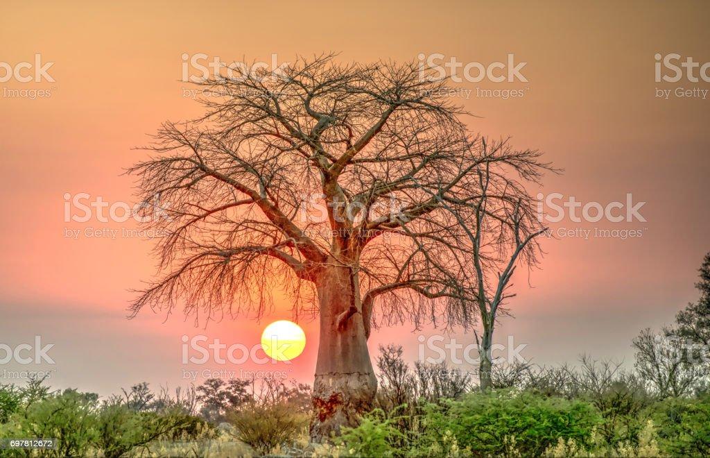 boab tree. stock photo
