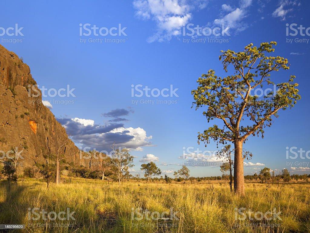 Boab trees at the Windjana Gorge, Western Australia at sunset royalty-free stock photo