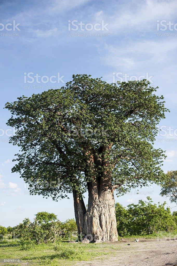 Boabab tree stock photo