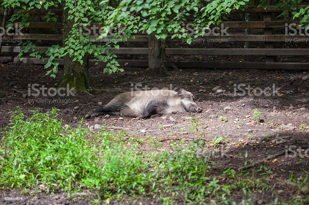 boar basking in the sun, Bialowieza National Park stock photo