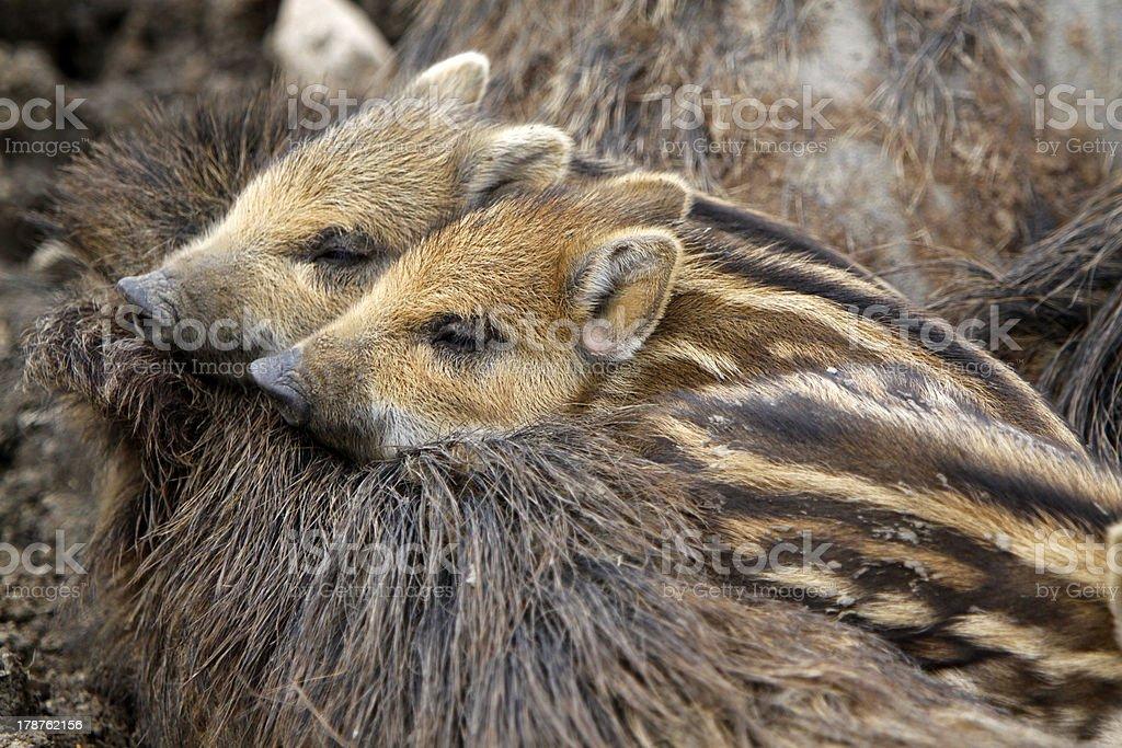 Boar family stock photo