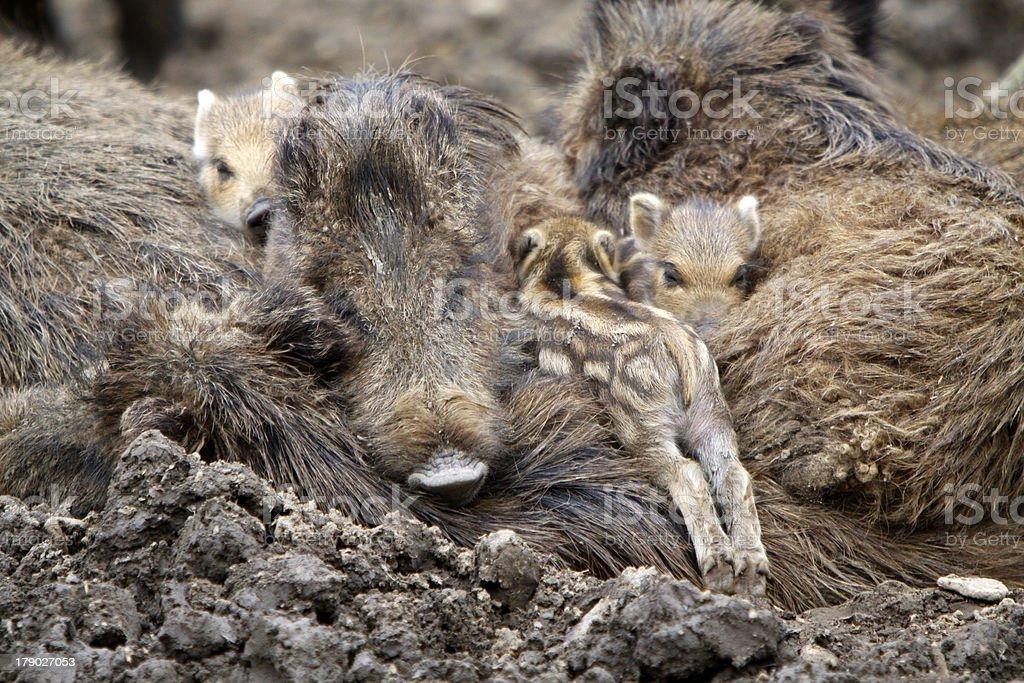 Boar family royalty-free stock photo