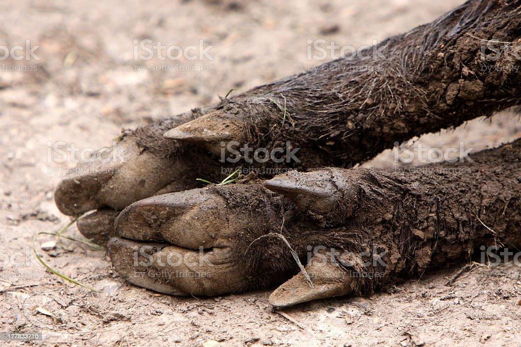 Boar feet stock photo