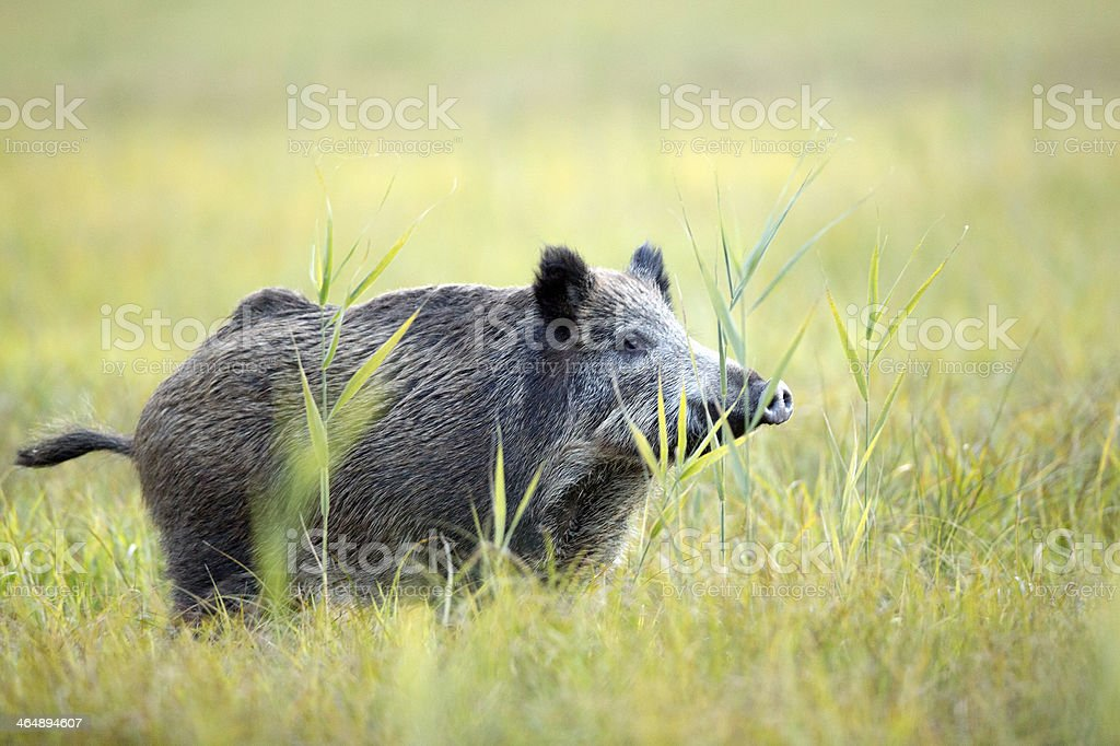 Boar in the clearing. stock photo
