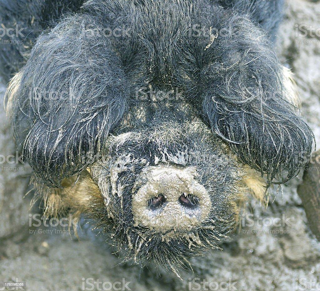 Boar royalty-free stock photo