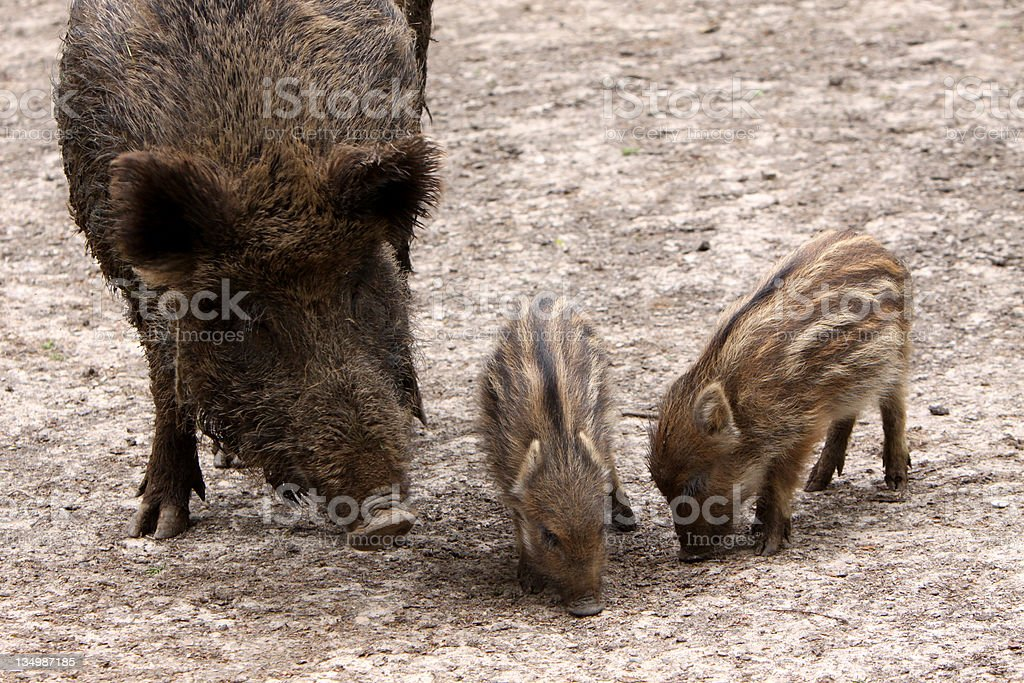 Boar with piglets stock photo