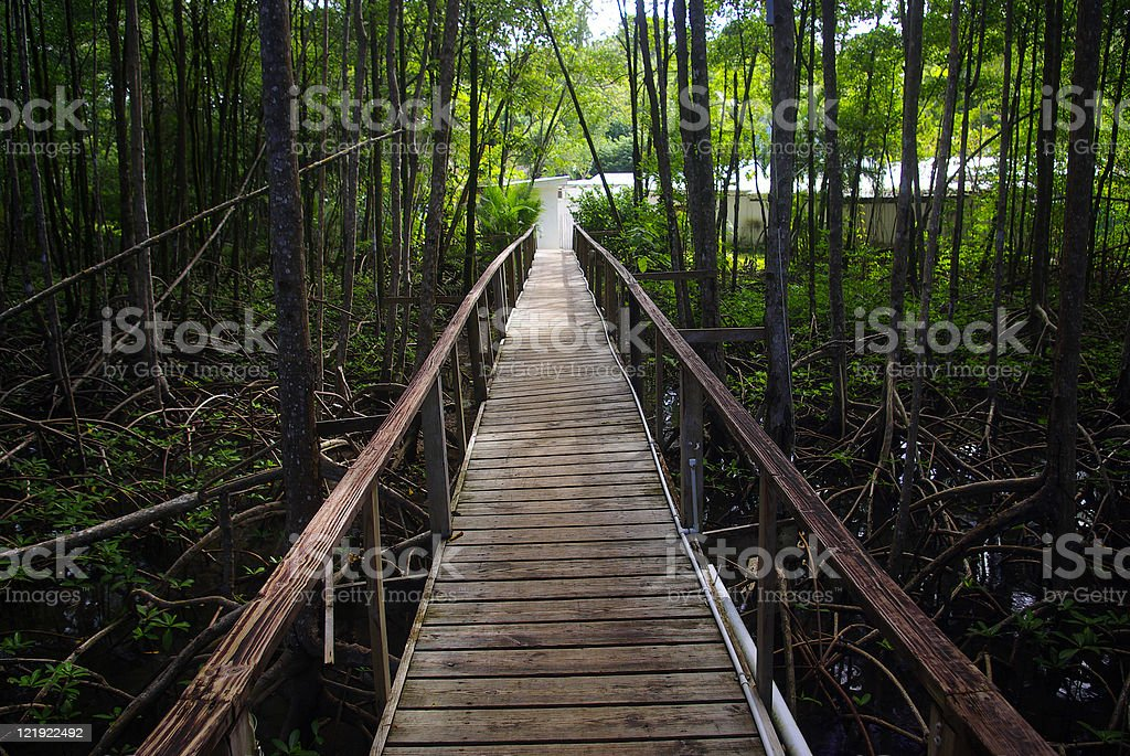 boardwalk among mangrove swamp stock photo