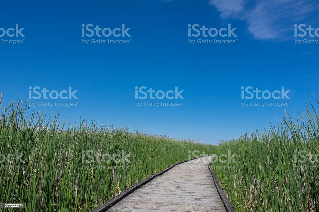 Boardwalk in a Marsh Surrounded by Cattails stock photo