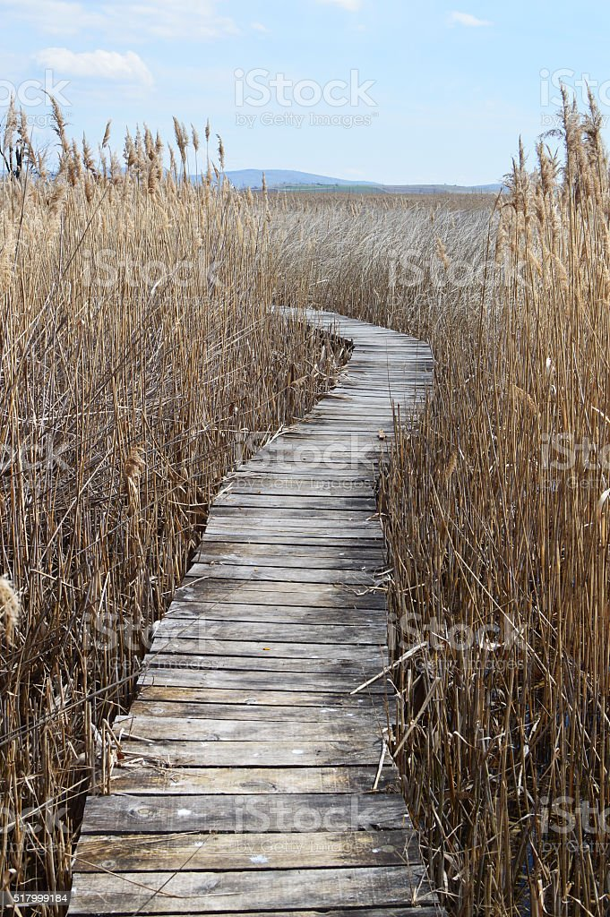 Boardwalk in swamp with reeds stock photo