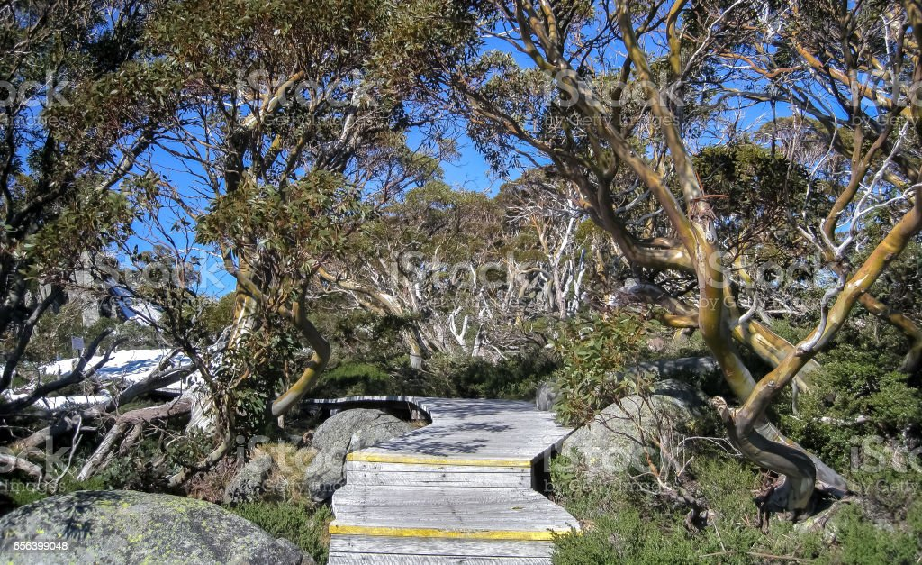 Boardwalk with wonderful Snow gums, Kosciuszko NP stock photo
