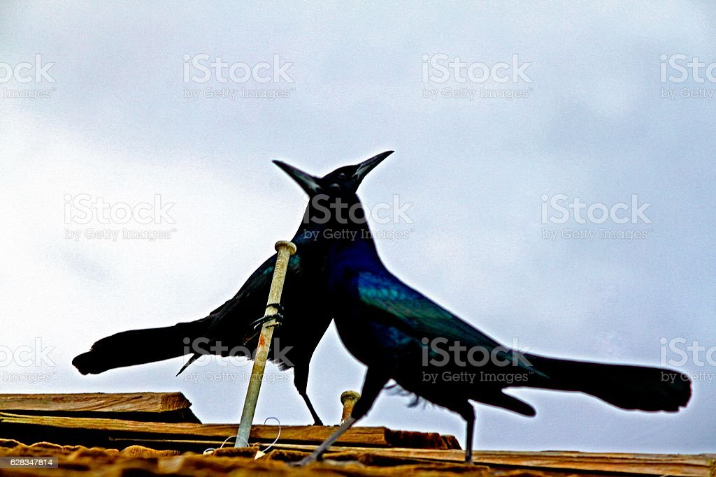 Boat-tailed Grackle Duo Dancing stock photo