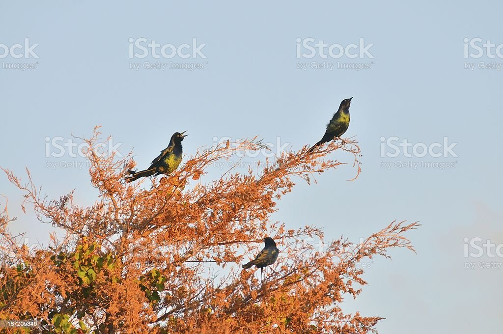 Boat-tailed Grackle In Cedar Tree At Sunrise stock photo
