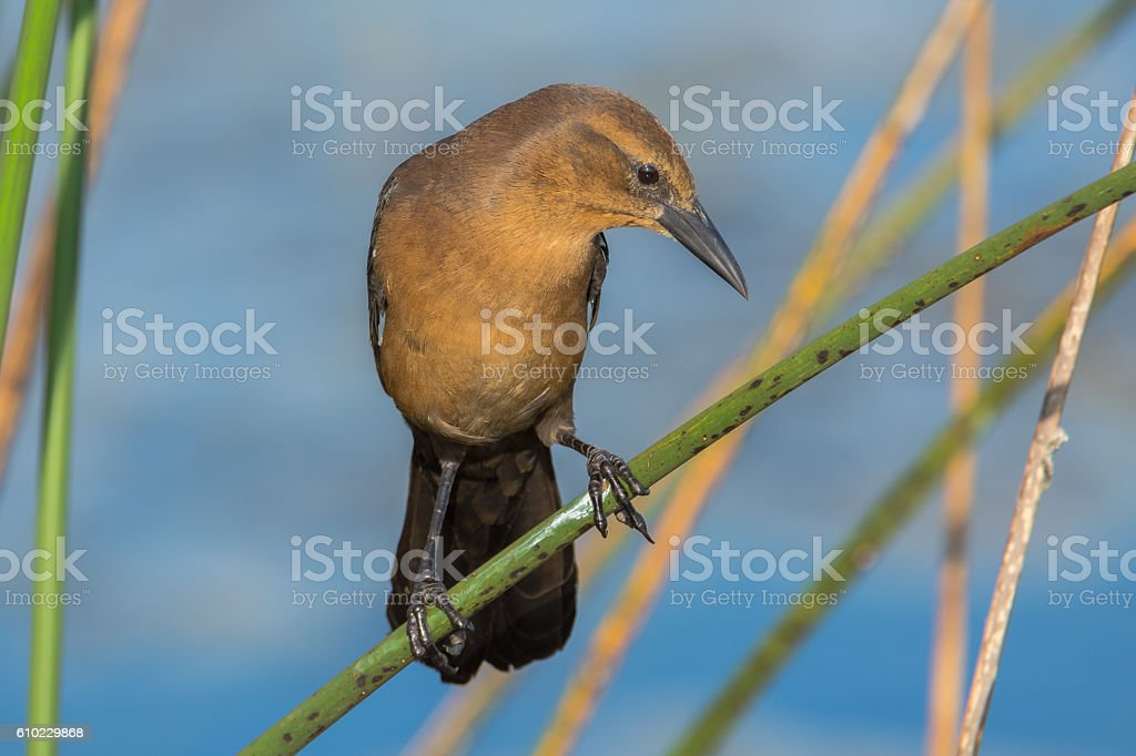 Boat-tailed Grackle stock photo