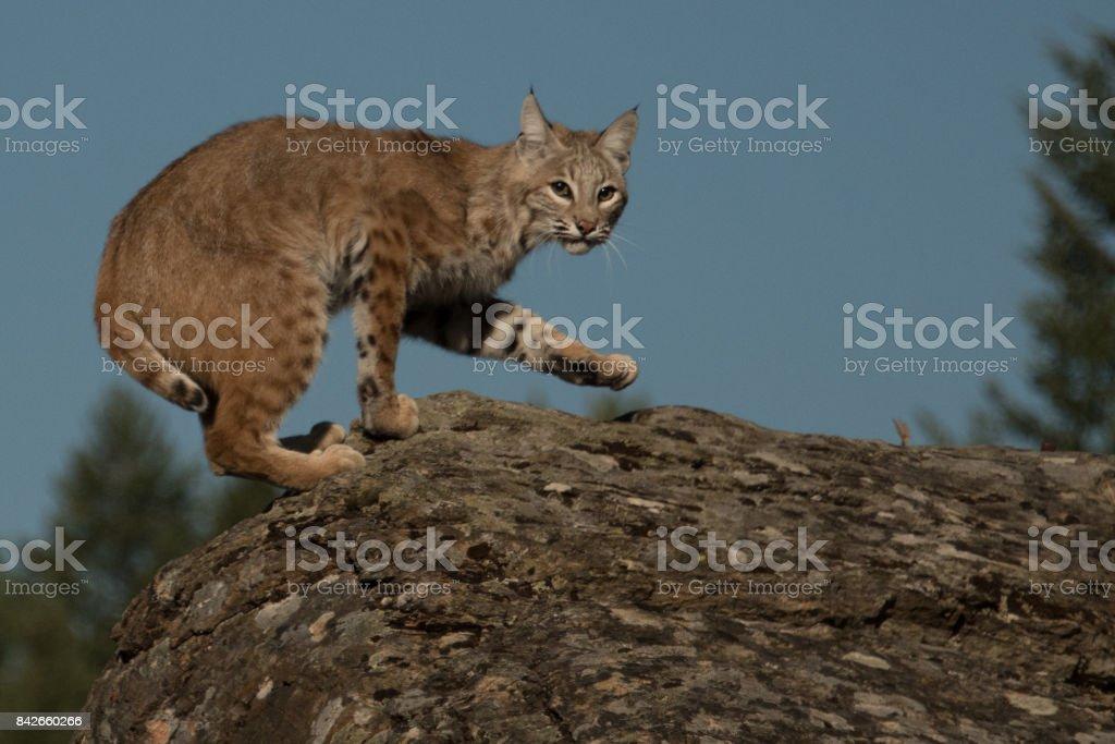 Bob cat on cliff stock photo