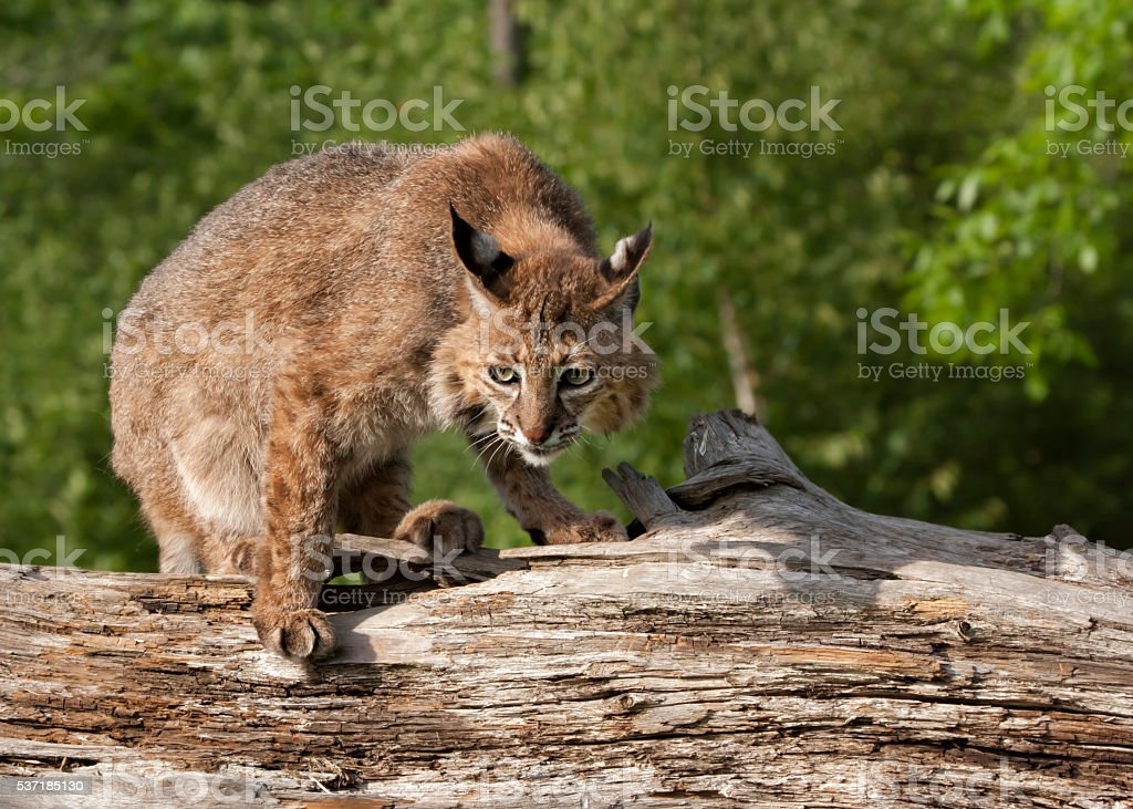 Bobcat Crouched on a Log stock photo