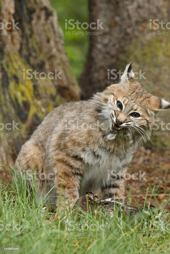 Bobcat hissing royalty-free stock photo