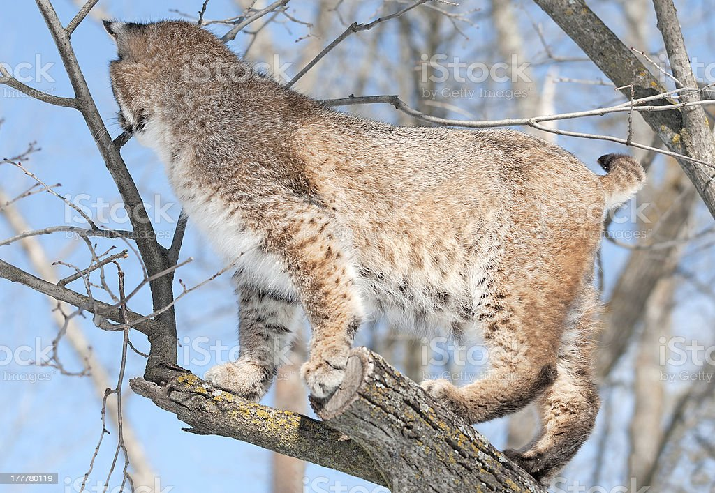 Bobcat (Lynx rufus) in Tree with Back Turned royalty-free stock photo