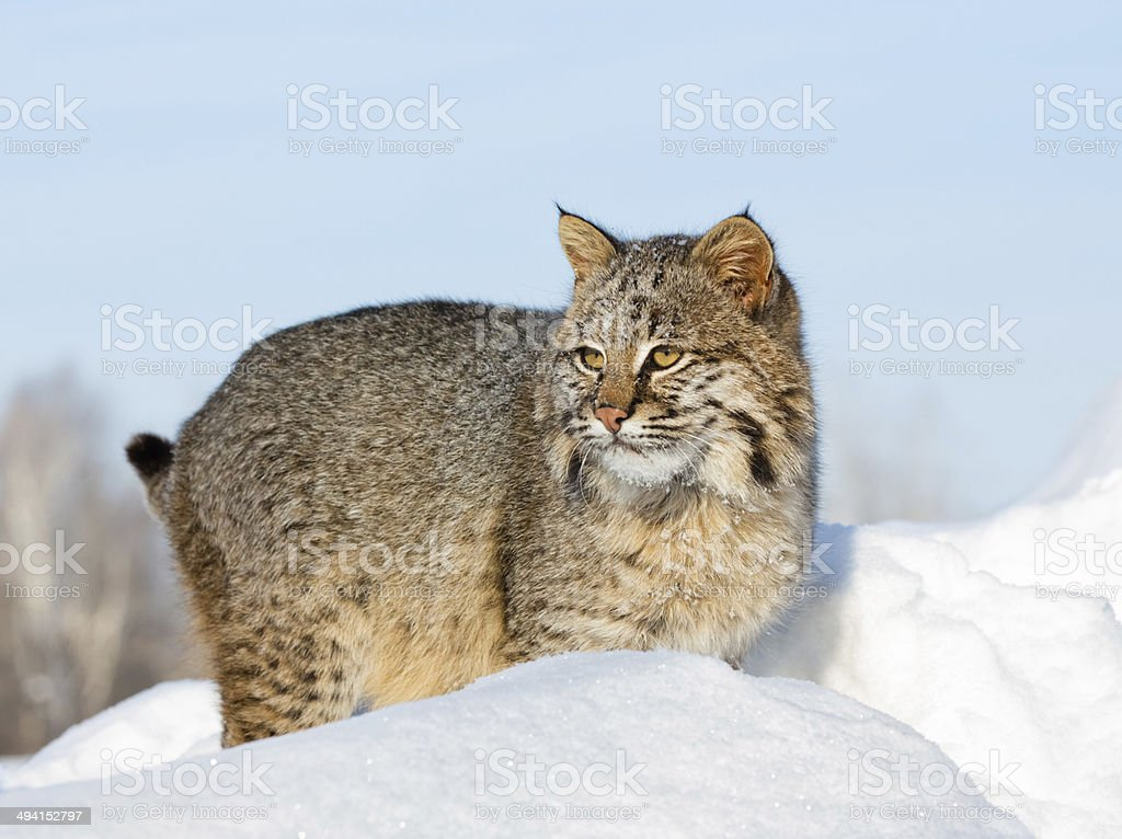 Bobcat in Winter royalty-free stock photo