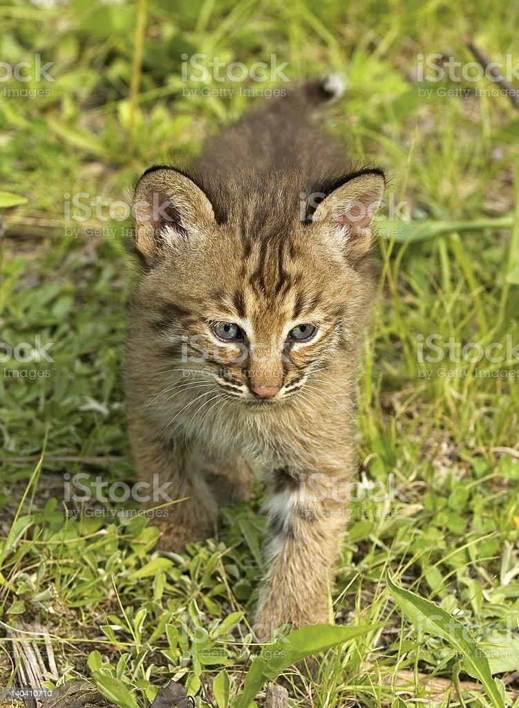 Bobcat kitten royalty-free stock photo