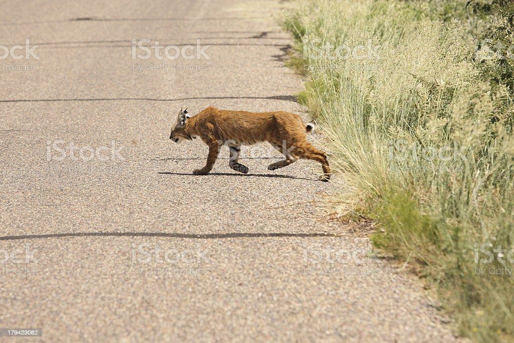 Bobcat Lynx rufus Rabid Sick Wildcat Predator royalty-free stock photo