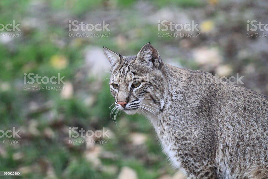 Bobcat or Bay Lynx stock photo