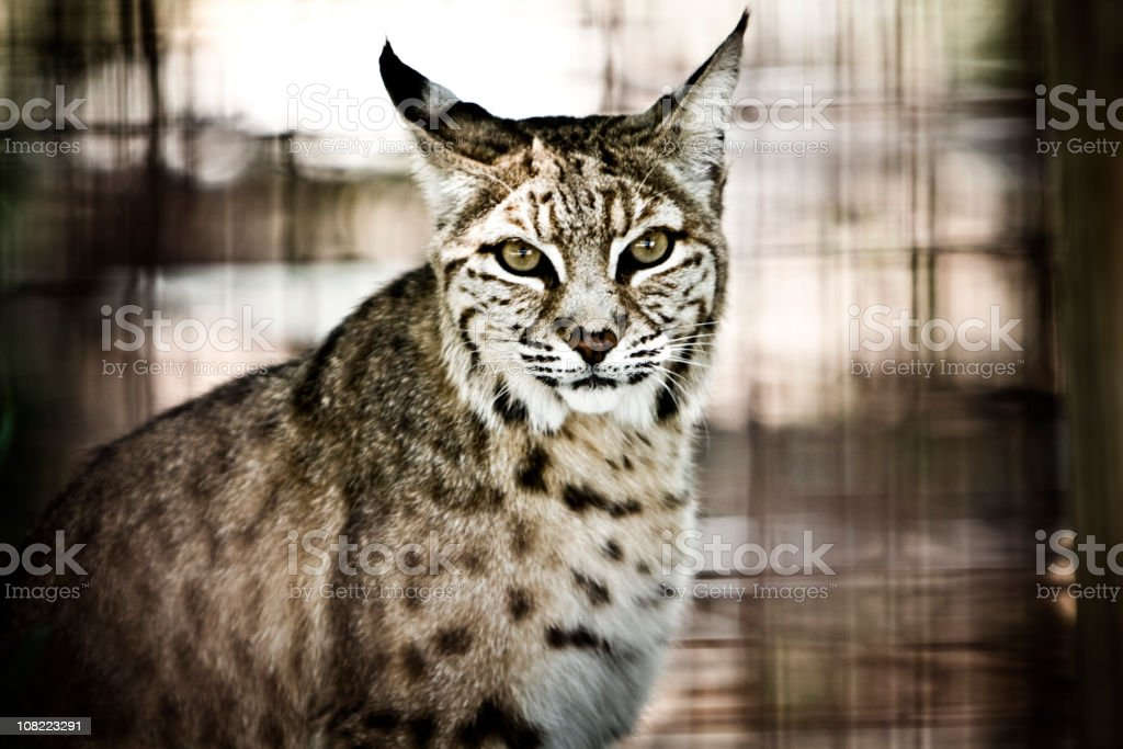 Bobcat royalty-free stock photo