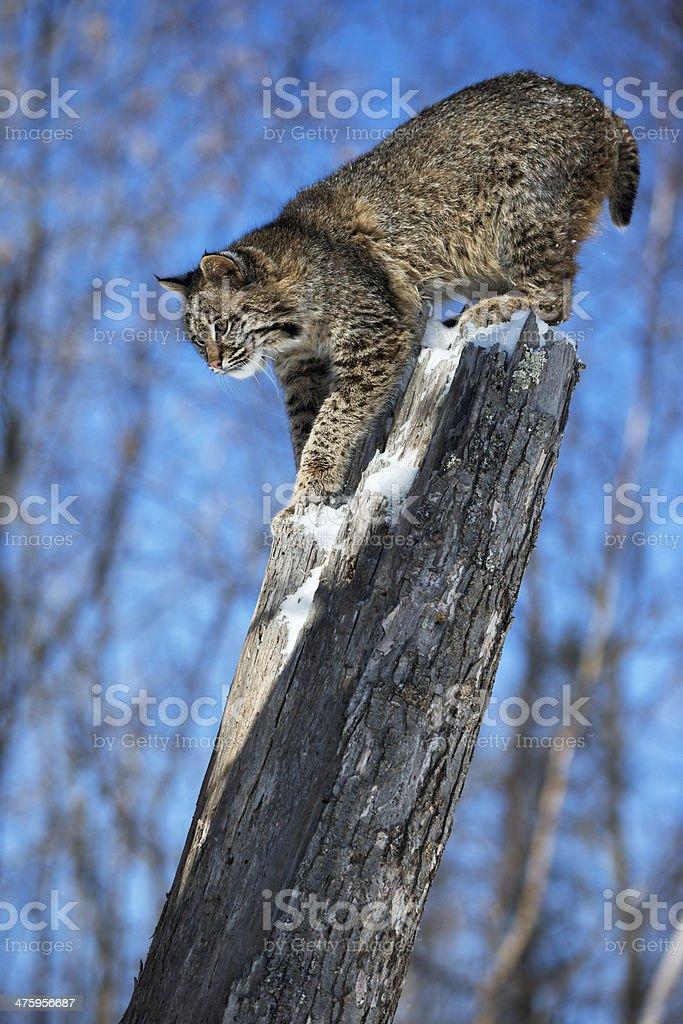 Bobcat pouncing from tree perch. stock photo