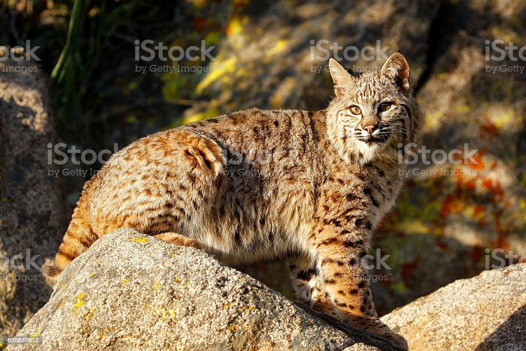 Bobcat sitting on a rock stock photo