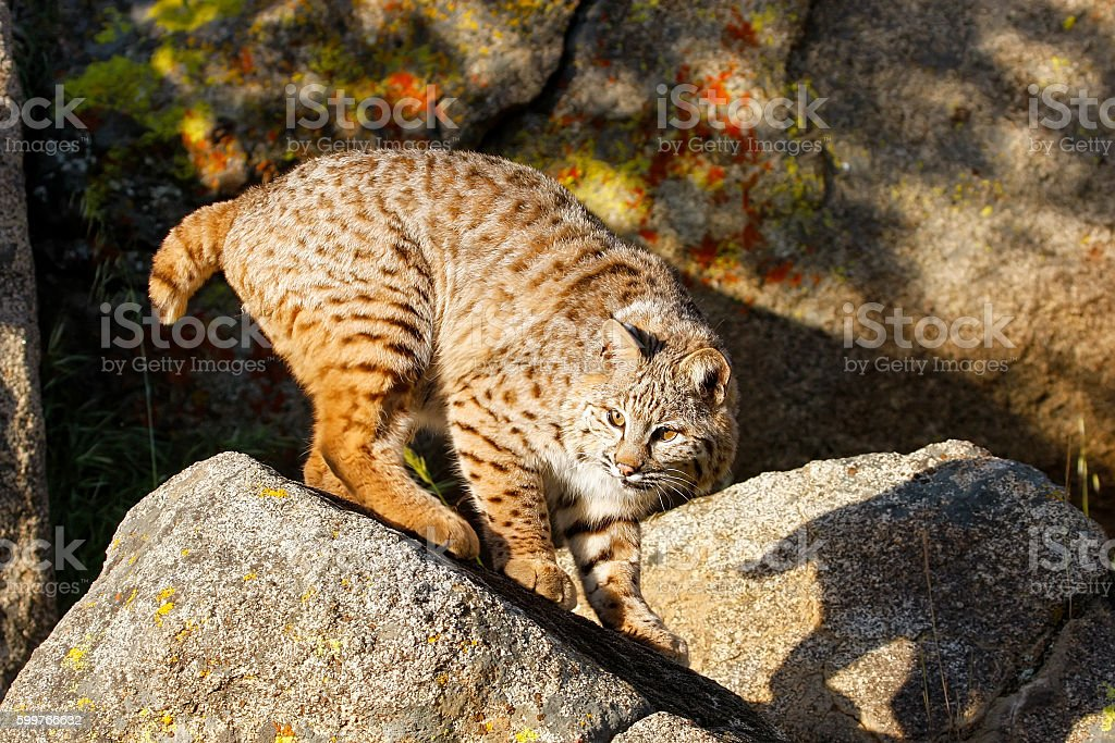 Bobcat standing on a rock stock photo