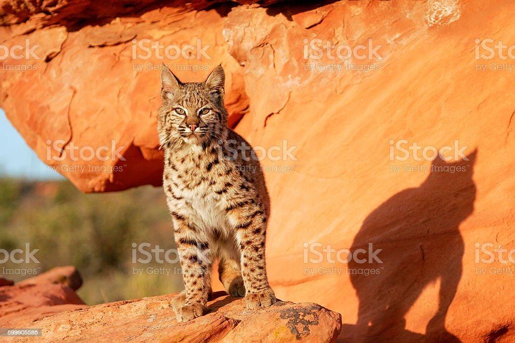 Bobcat standing on red rocks stock photo