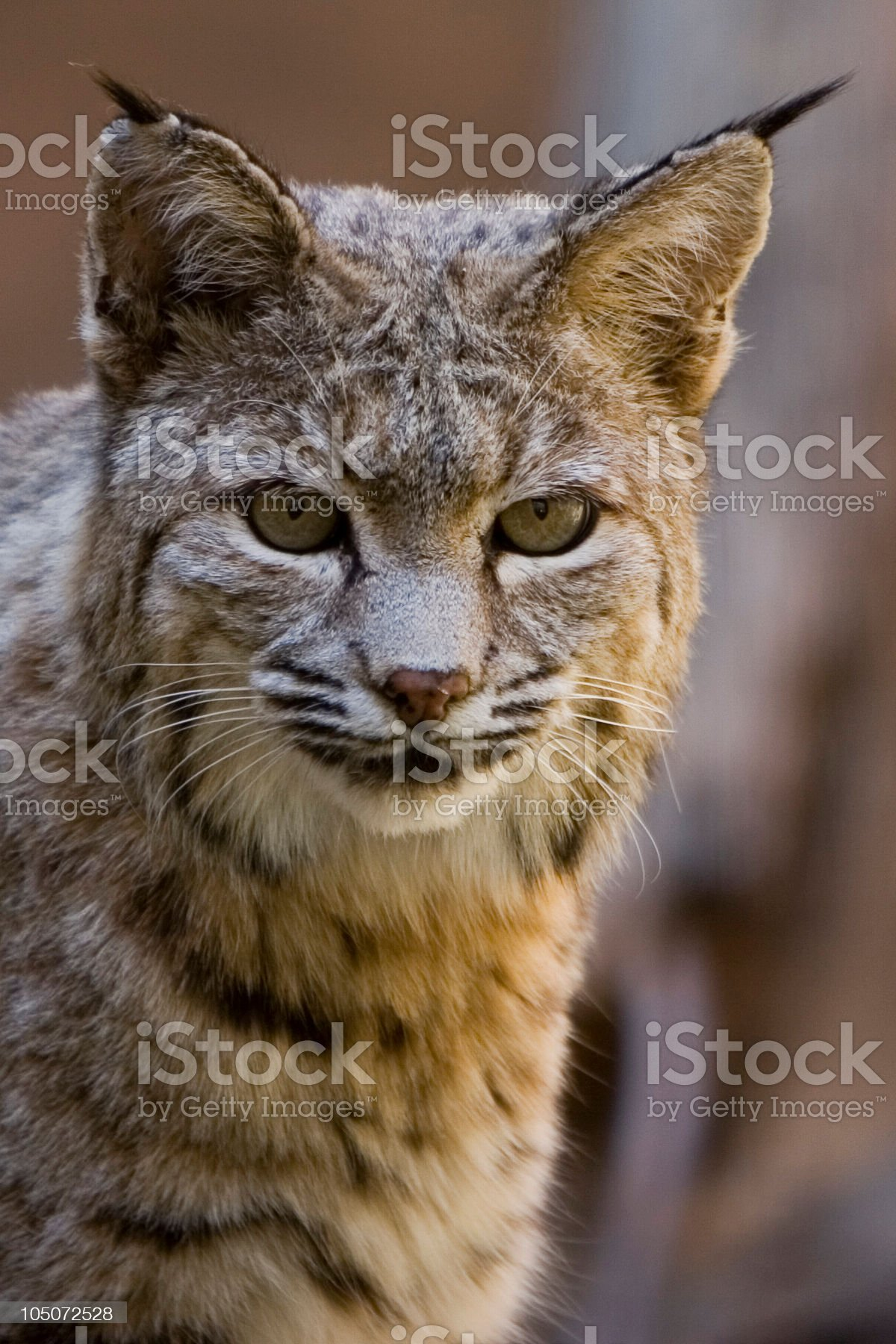 Bobcat Stare royalty-free stock photo