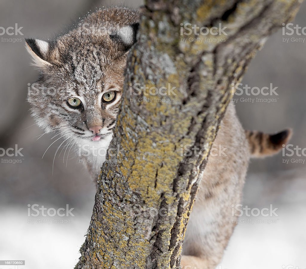 Bobcat (Lynx rufus) Sticks Out Tongue Behind Branch royalty-free stock photo